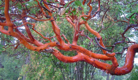 Arbutus in rain at Nymph Point Park, a sacred first Nations site in Tsheum  (Shoal) Harbour