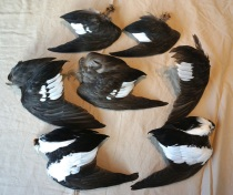 Wing samples of female (top rows) and adult male Buffleheads obtained from predator kills ( Otter and Eagle) on Roberts Bay. The extent of white in the wing speculum is thought to be a badge of identity, maturity, and status.