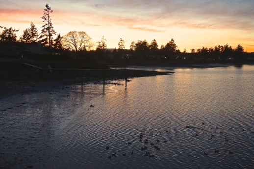 Wigeons and Buffleheads forage at dusk in the southeast (lee) corner of Roberts Bay, high use habitat due to fine, detrital substrate and accumulation of Sea Lettuce and the Detritivores ( amphipods, shrimp and tanaids). At a precise time after Civil Twilight, Buffleheads depart for the offshore waters of Sidney Channel, where they roost over night. Feb 16th, 2015 19:02 PST