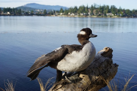 VAL (2005-2007), the mounted specimen in wing stretch posture, with former habitat in Roberts Bay in background.