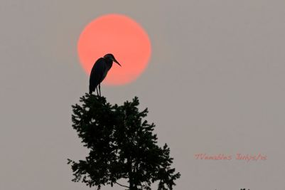 Heron against an orange sun