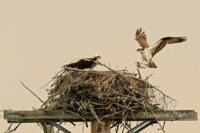 Osprey nest: lunch on its way