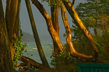 arbutus trees in storm