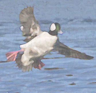 bufflehead landing altered &cropped